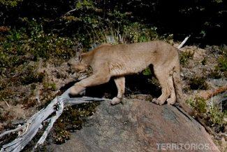 Puma en El Chaltén