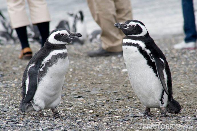 Pinguins Magallánico