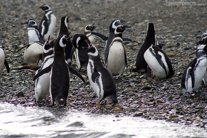 Pinguins Magallánicos