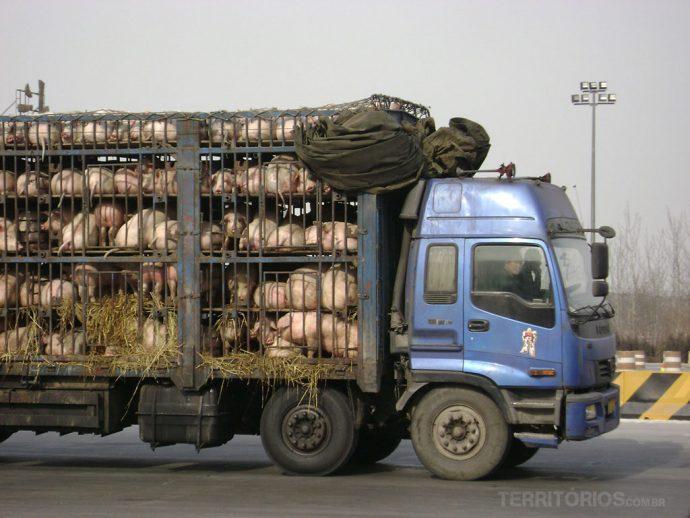 Caminhão de porcos