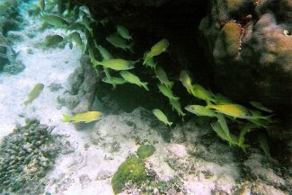 Peixes durante o snorkel no Caribe