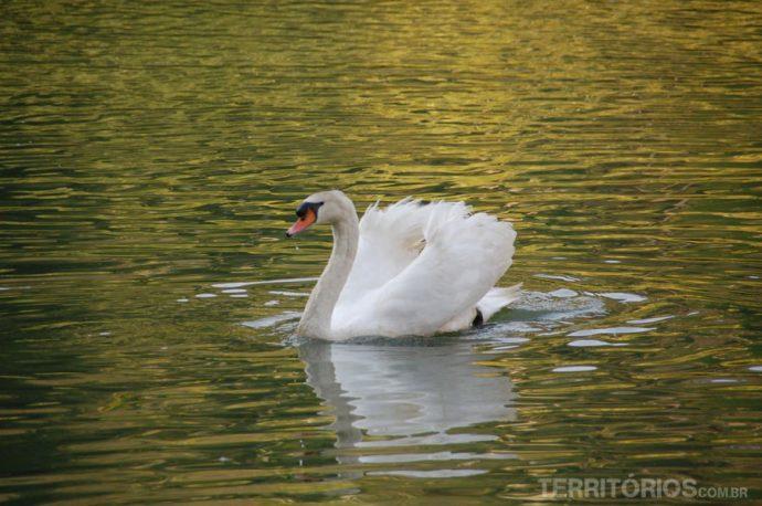 Cisne branco no lago do Museu Inhotim, Brumadinho, Minas Gerais - Brasil