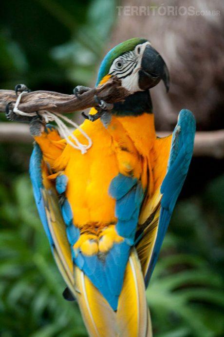 Arará-Canindé no Parque das Aves