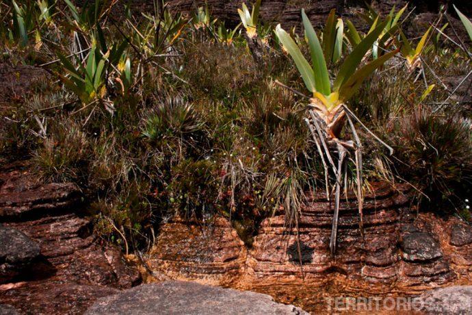 Fontes de água e stegolepis guianenses,a planta predominante nos Jardins pré-históricos do Monte Roraima