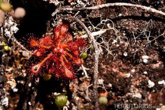 Drossera roraimae, pequena planta carnívora nos Jardins pré-históricos
