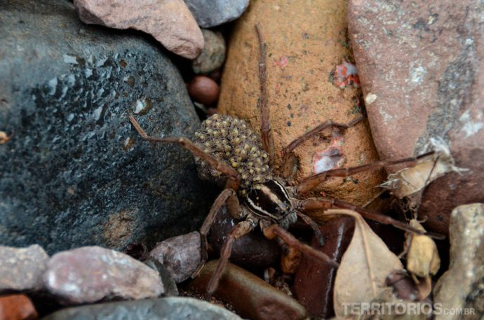Aranha carregando os filhotes no corpo
