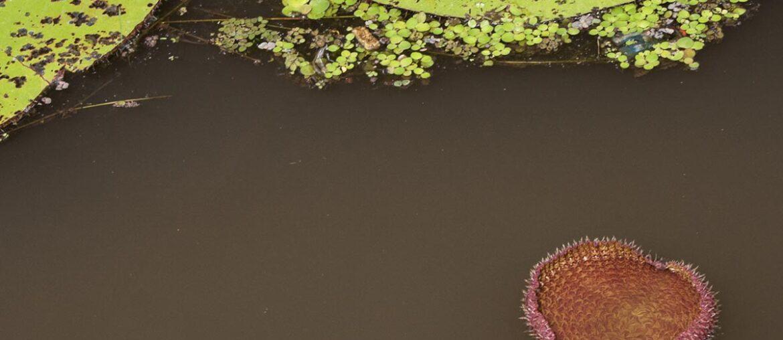 Vitória régia nascendo na selva Amazônica, Fotos do Amazonas