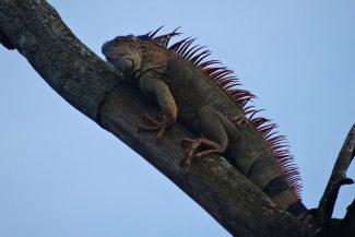 Iguana em Arenal