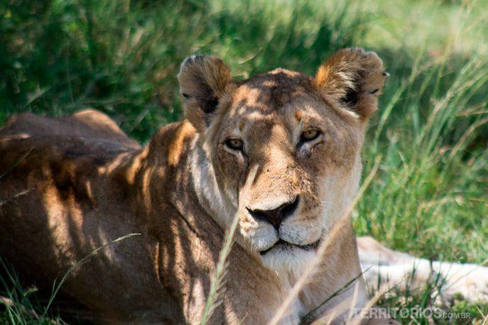 Coisas para fazer antes de morrer: ficar cara a cara com um leão