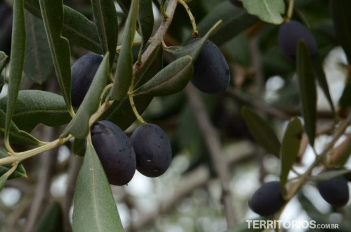 Oliveira carregada de azeitonas pretas