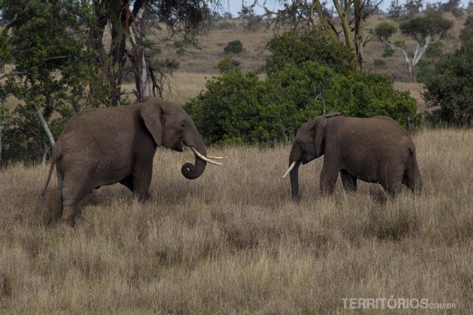 Elefantes babies africanos em Lewa