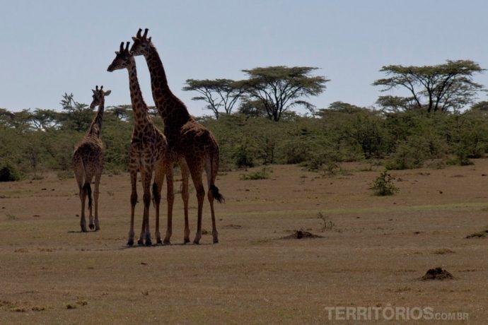 Família de girafas em Lewa