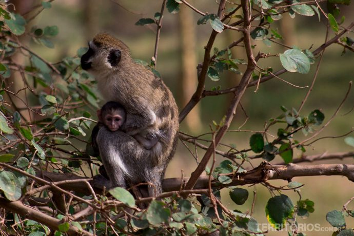 animais africanos: macaco olive