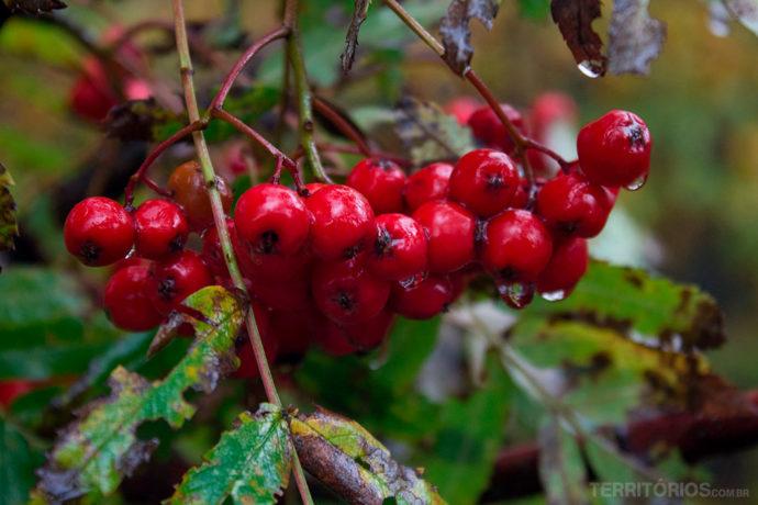 Frutos do outono no alto das montanhas