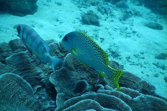 Peixes na barreira de corais do Kisite Mpunguti Marine Reserve