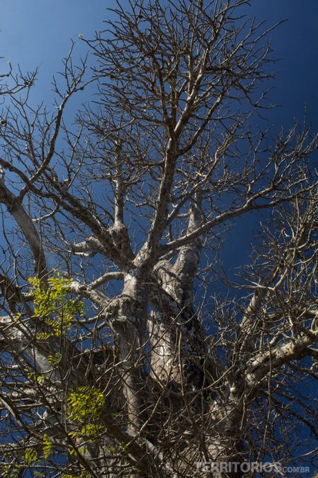 Baobá na época que perde as folhas
