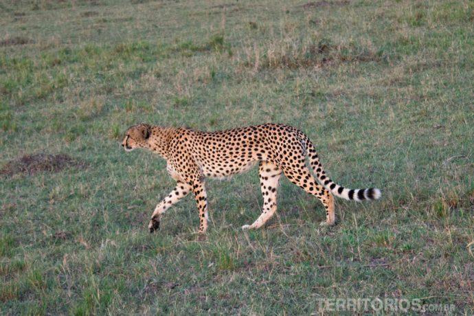 Guepardo caminhando tranquilamente