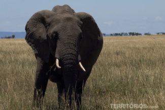 Elefante africano, um dos 5 animais africanos do Big Five