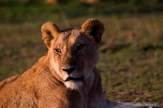 Leoa em Maasai Mara. Leão é um dos 5 animais africanos do Big Five