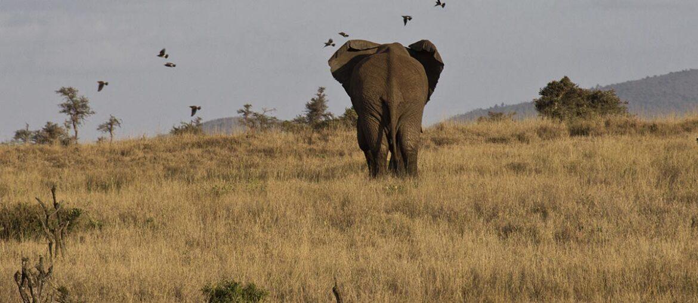 Elefante, um dos animais africanos, visto de costas