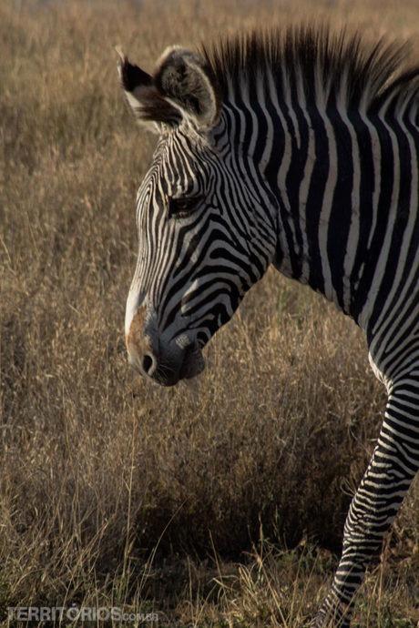 animais africanos: zebra