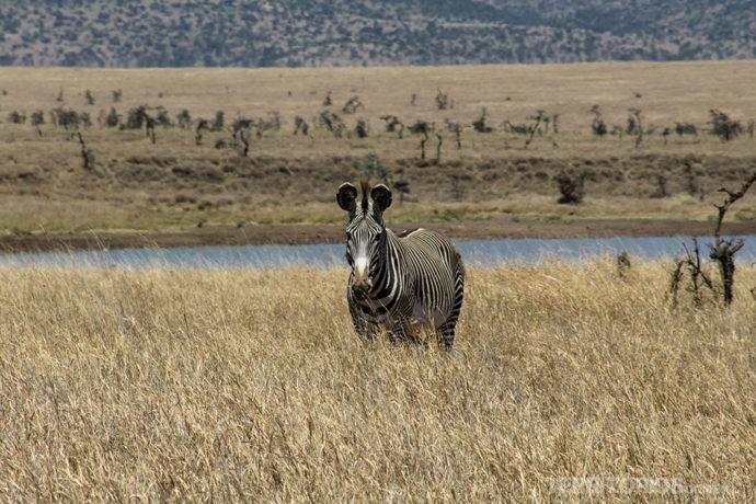 Zebra Grevy's
