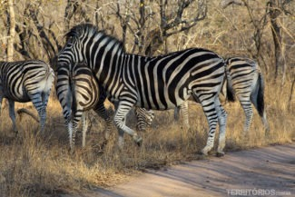 Zebra na África do Sul