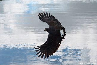 Falcão no Safari fotográfico do Pantanal por Leandro Gabrieli