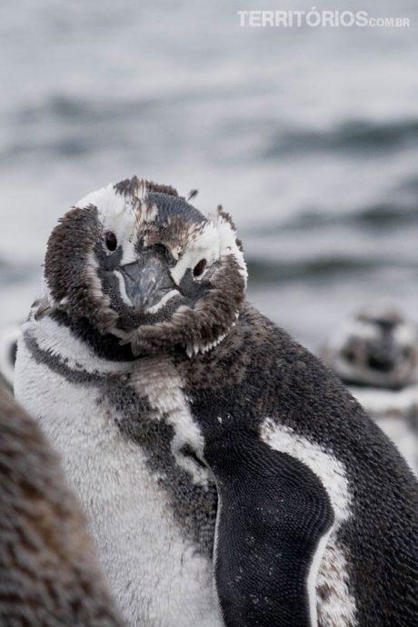 Pinguin em Ushuaia