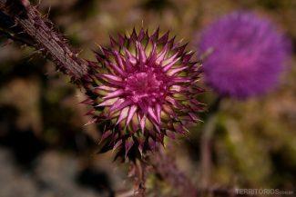 Flor da Patagônia