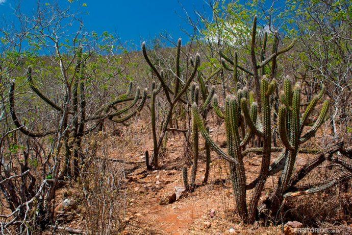 Trilha entre os cactus pela caatinga do sertão