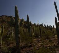 Cactos gigantes no Arizona