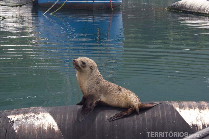 Lobo-marinho descansando no porto