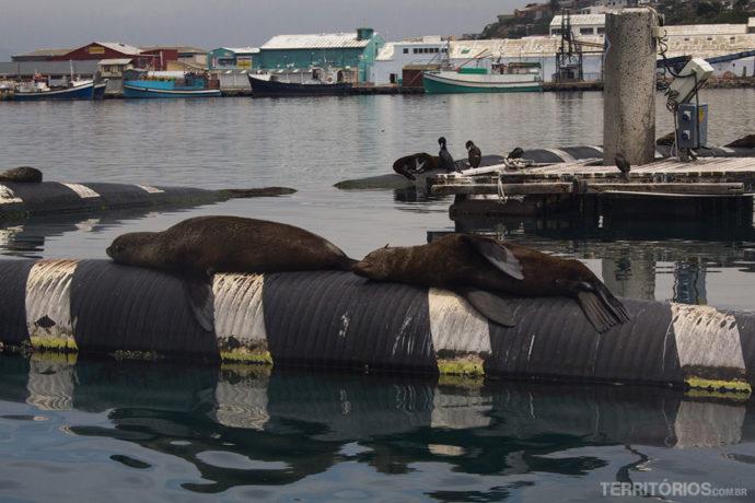 Lobos-marinhos descansando