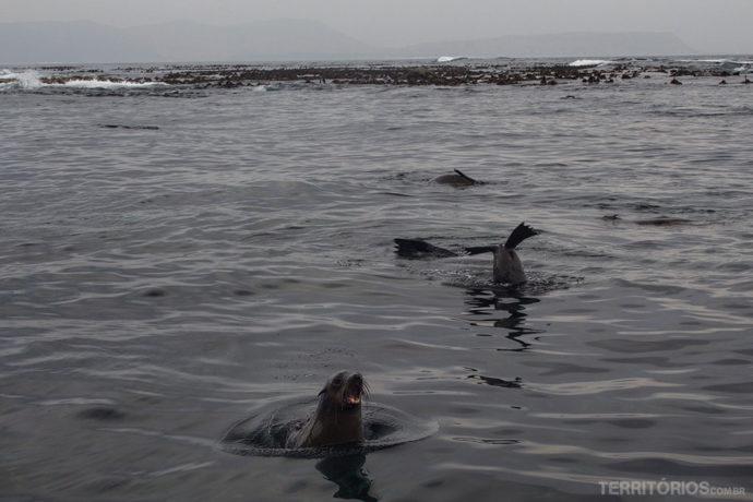 Lobos-marinhos rindo da nossa cara