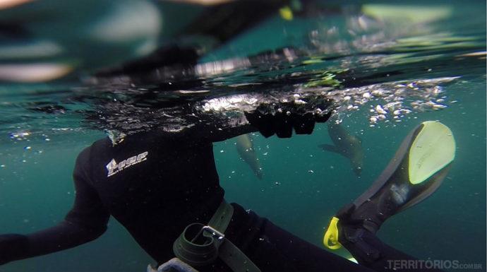 Mergulhador com lobos-marinhos