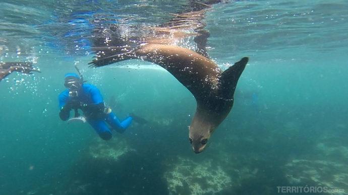 Mergulho com lobos marinhos em Cape Town