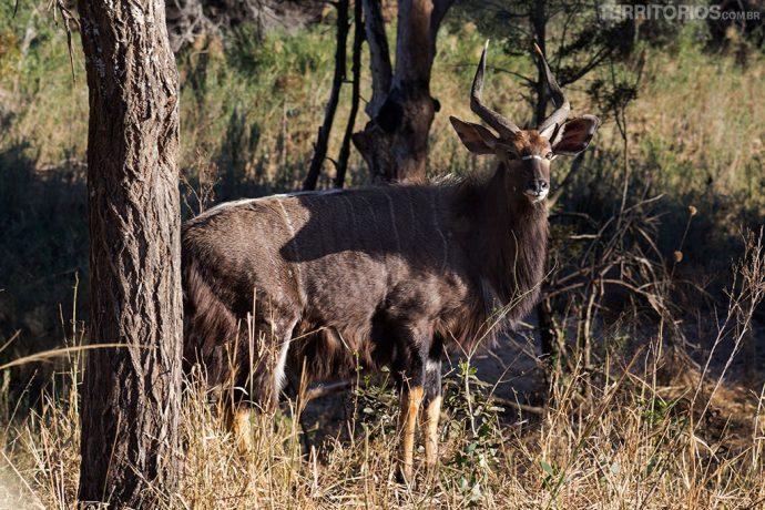 animais africanos: kudu