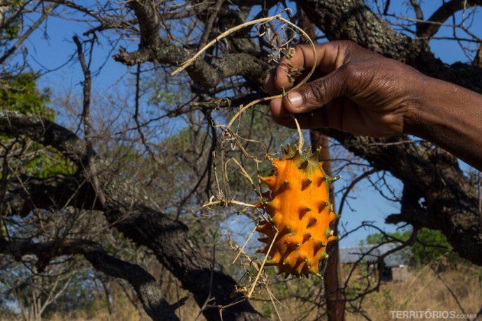 Fruto laranja serve como armadilha para capturar animais porque eles adoram. Principalmente girafas e esquilos