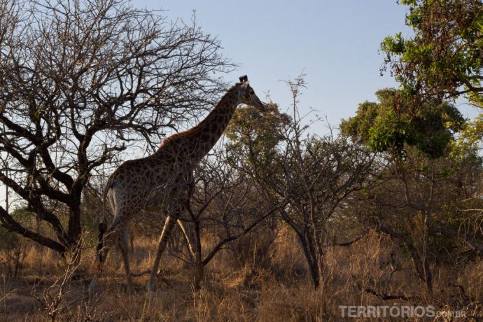 Girafas surgiram de noite e pela manhã