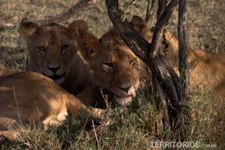 Leão adolescente me encarando em Maasai Mara