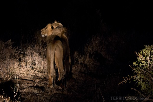 Leão em Lewa Wildlife Conservancy - Quênia
