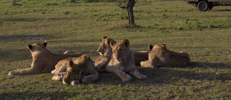 Dia Mundial do Leão