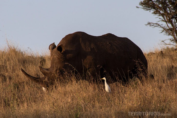 Rinoceronte negro ameaçado de extinção é vida selvagem