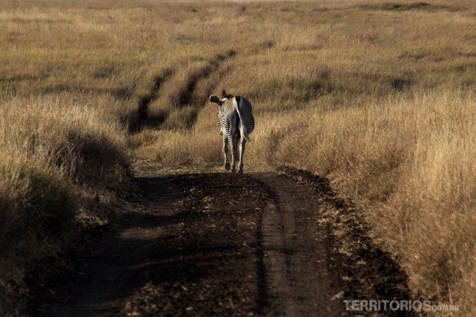 Zebra solitária na estrada é vida selvagem