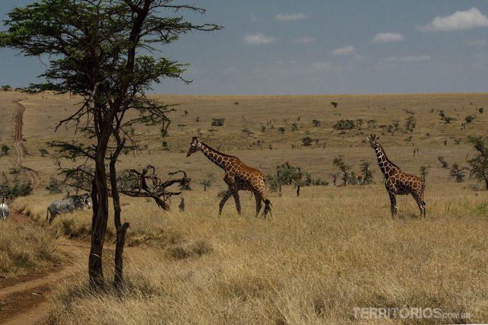 Girafas e zebras no Lewa Wildlife Conservancy