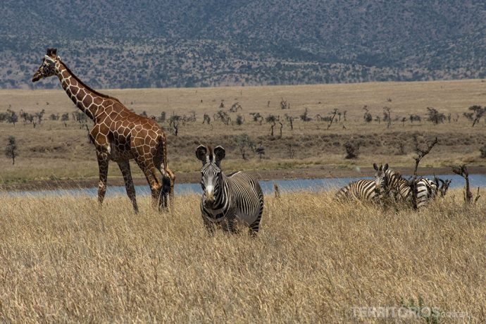 Girafa e zebra grevy são vida selvagem