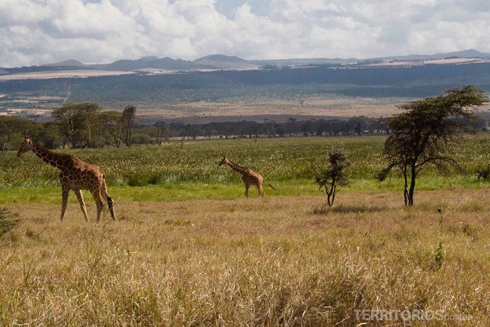 Quênia verde e amarelo em Lewa