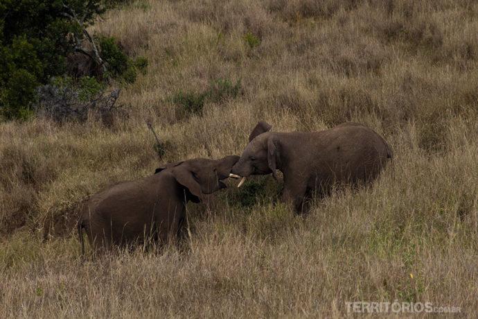 Elefantes adolescentes brincando em Lewa