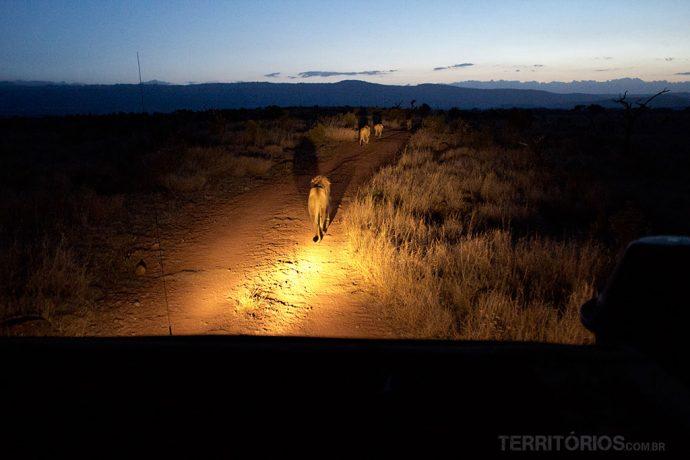 Leão guiou o safari noturno